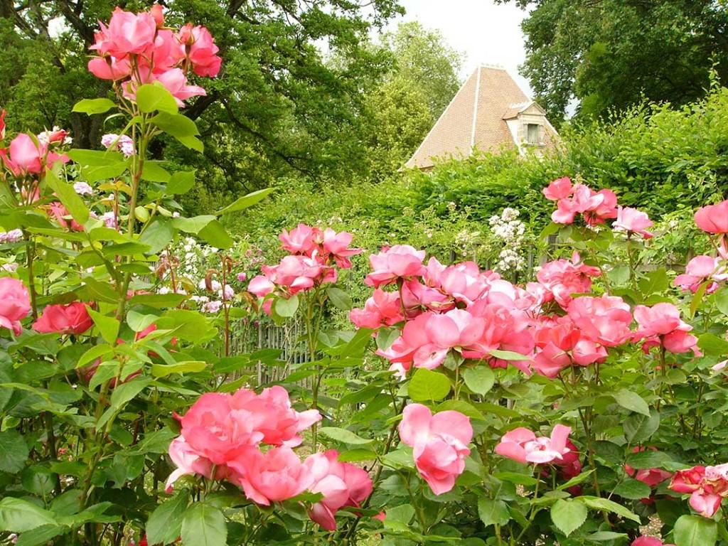 Magnifique rose rose de la roseraie du château d'Ainay le Vieil