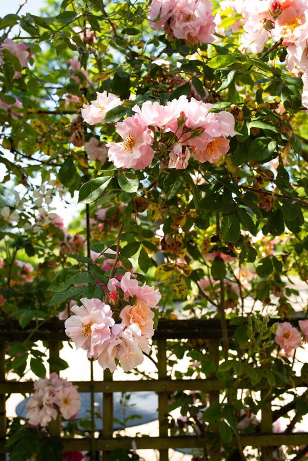 Château d'Ainay-le-Vieil, gros plan sur les fleurs délicates d'un Rosa gallica L. au pavillon de la volière